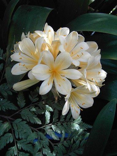 Clivia  : beautiful plant that can de grown indoor.