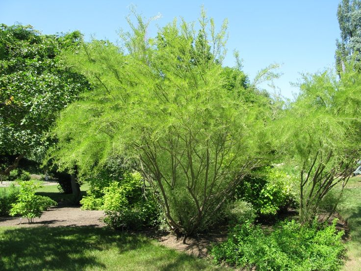17 best images about landscaping trees shrubs for Small hardy trees