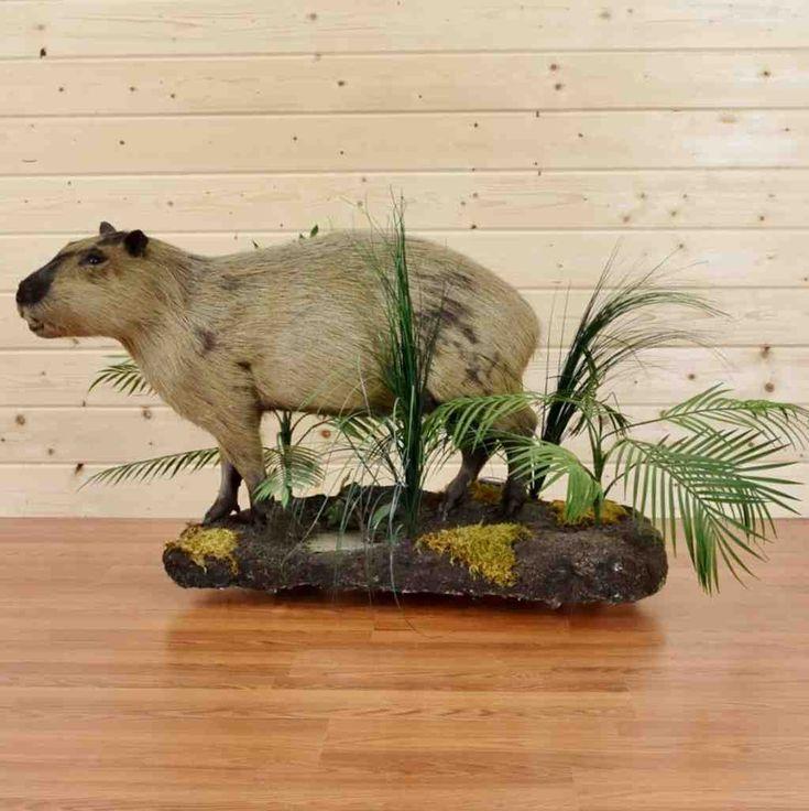 Capybara Hunting Trophy for Sale - SW8984 - Safariworks Taxidermy Sales