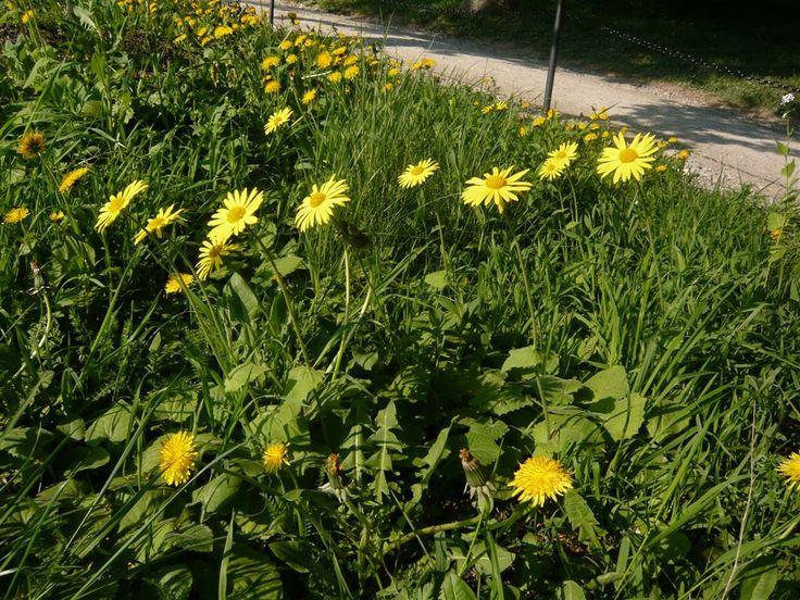 Doronicum orientale Gemswurz, zu Brunnera