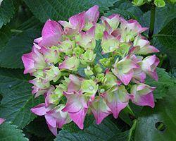 Hortensien | Standort Pflege | düngen vermehren überwintern | Garten