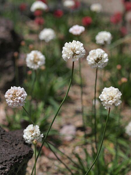 アルメリア(バレリーナ・ホワイト) アルメリア Armeria (別名:ハマカンザシ(浜簪)) 常緑性 多年草  ヨーロッパ、北アフリカなど原産 花期: 3-6月頃(赤,ピンク,白) 草丈:10~30cm 日照: 日なた 海の近くに自生する。寒さには強く、越冬は容易だが、夏の高温多湿には弱く、乾燥気味の環境を好む。株が込み合ってきたら、株分けし、蒸れないようにすると良い。