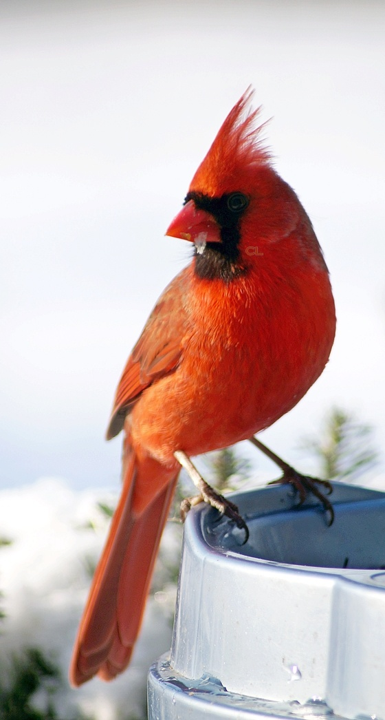 Northern Cardinal - I now have one who roosts in the tree by my front door at night.  I love my new neighbor.