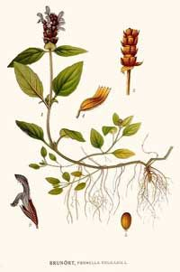 The Herb Self Heal  Good herb resource