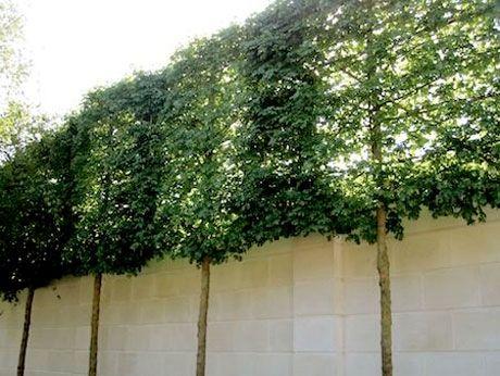 Träd bildar insyns- och vindskydd