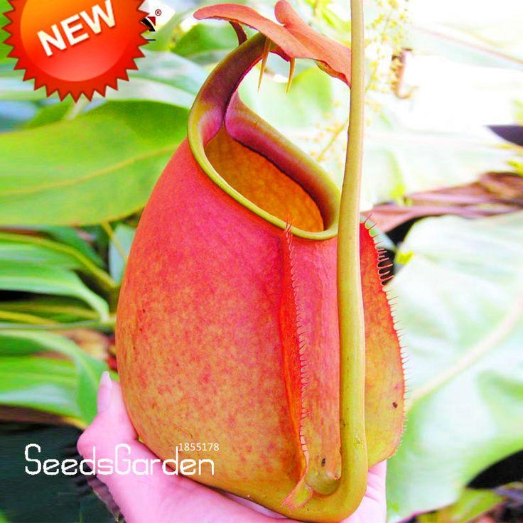 Акция! 50 Семена/Пакет Беременных Nepenthes Семена Балкон Горшечные Растения Бонсай Семена Семена Бонсай Хищные Растения, # HUUQQ8