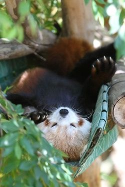 """RED PANDA.....also known as """"Fire Fox"""" because of its size and color........other names include: Bear-cat, Bright Panda, Cat-bear, Lesser Panda, Petit Panda and Poonya.....commonly called the wah or wah donka because of the """"wah"""" call that it makes.....20 to 26 inches in length.....7 to 14 pounds in weight.....tail 12 to 20 inches in length.....found in the mountain forests of the eastern Himalayas and southwest China.....eats 200,000 leaves of bamboo daily"""