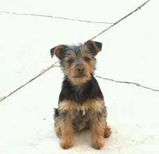 Image result for silky terrier mix with min pin