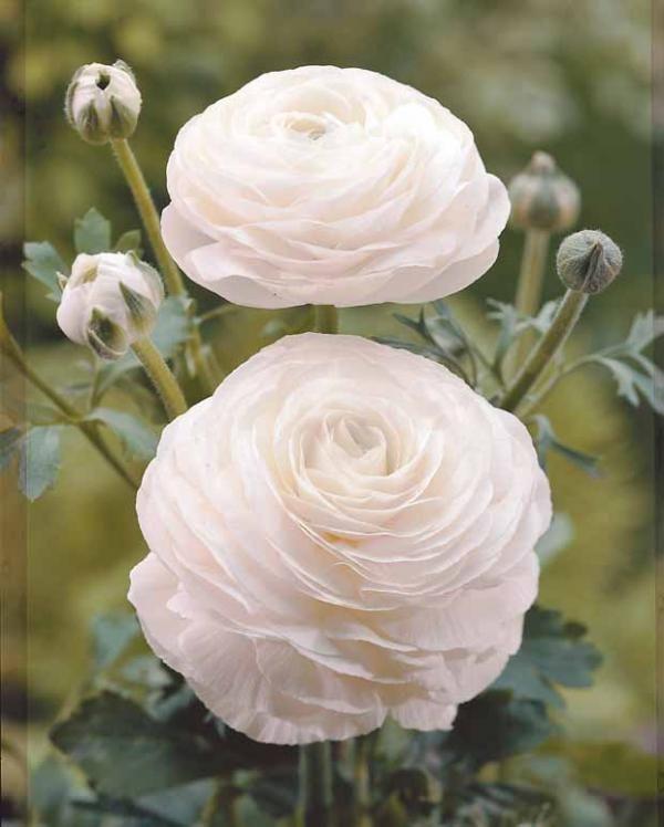 fleurs blanches roses. Black Bedroom Furniture Sets. Home Design Ideas