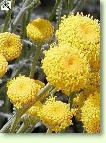 Heiligenkraut mit Blüten - nützlich gegen Fruchtfliegen!