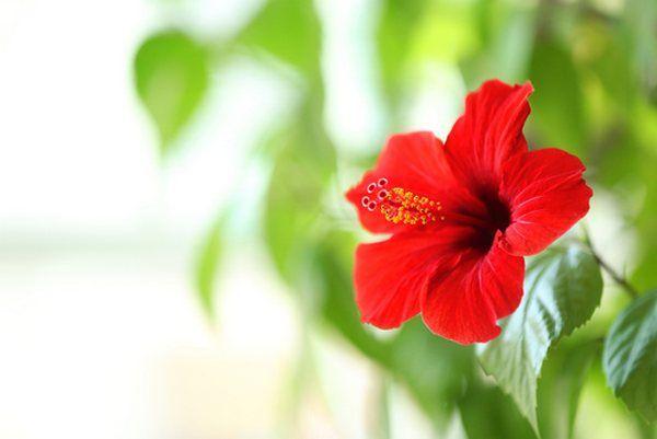 Ibisco: come coltivarlo, manutenzione e cura