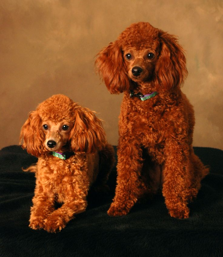red toy poodles puppies for sale the 25 best ideas about toy poodles for sale on pinterest 9417