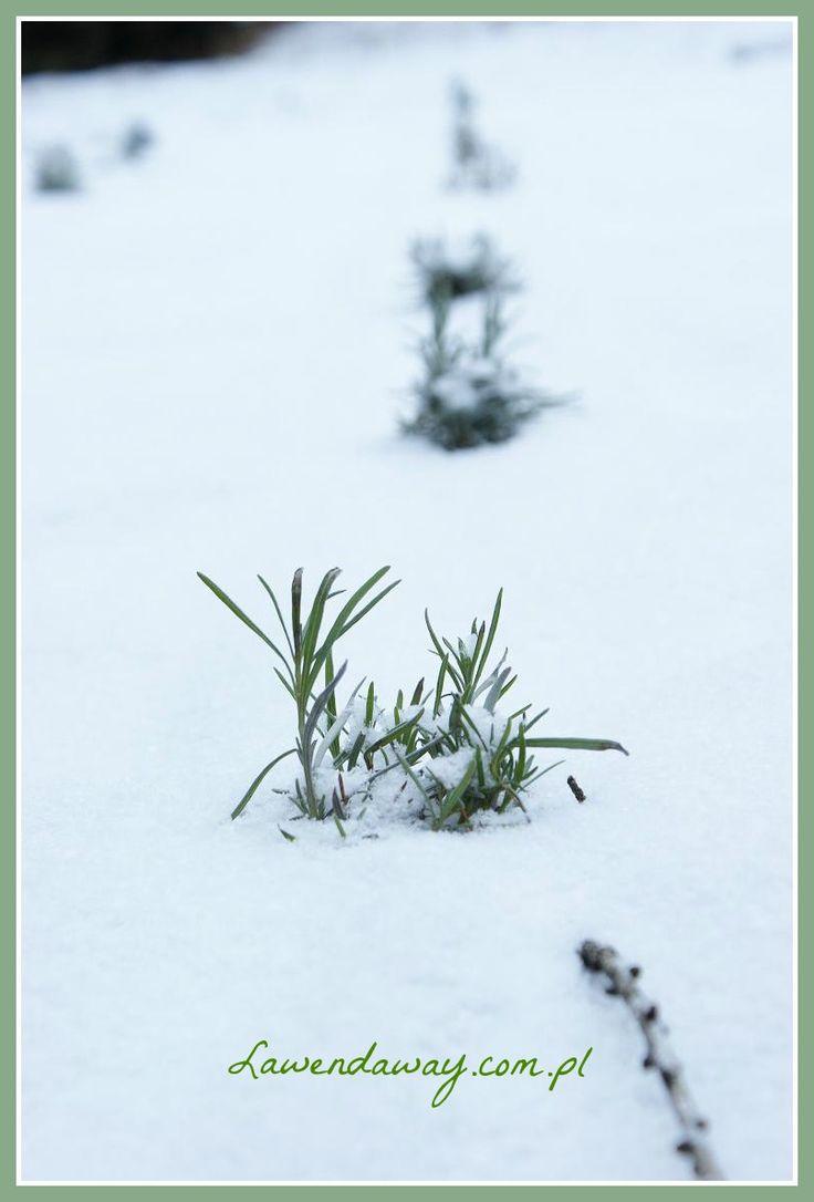 Lawenda zimą #lawendaway #photo #fotografia #zima