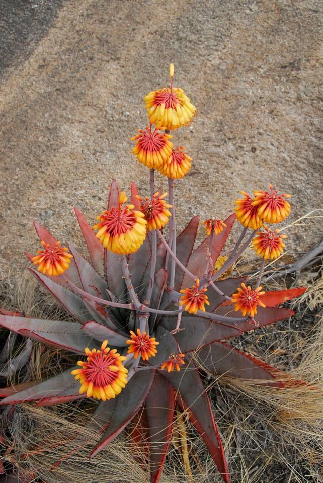 Aloe capitata Anviranomamo