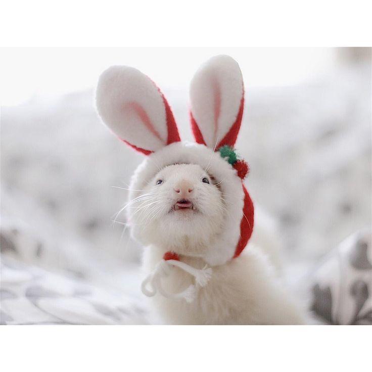 "1,590 Likes, 1 Comments - ferret bisco pino (@pyonjet915) on Instagram: ""* merryChristmas ちょっぴりトイレに行くまでに 時間がかかるピノさんだけど ゆっくりゆっくり頑張ってます。 年が明けたらピノの8歳の誕生日! 今年も残りわずかですが…"""