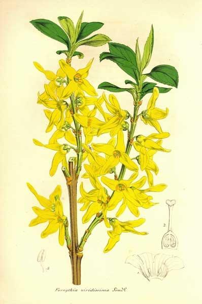 Forsythia viridissima - Pottery Place craft