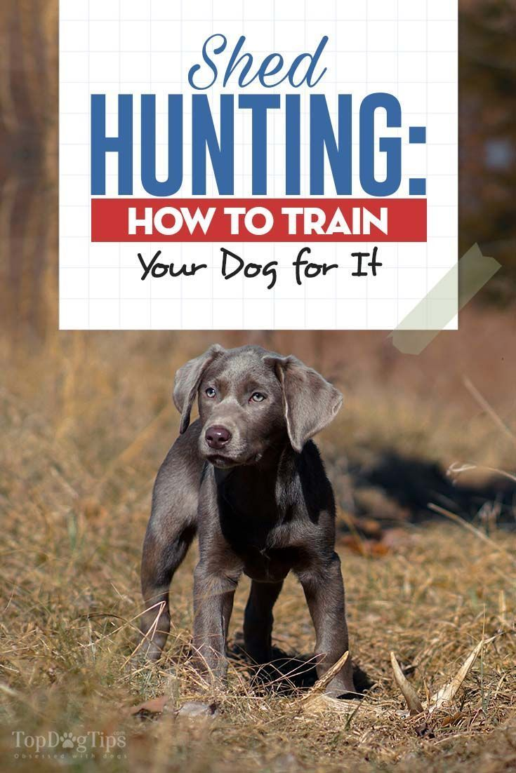 How To Teach Your Dog Shed Hunting Dogtraining Dog Training