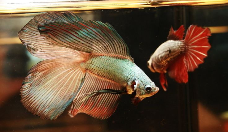 Betta Dragon DT, RT pair by HappyBettas