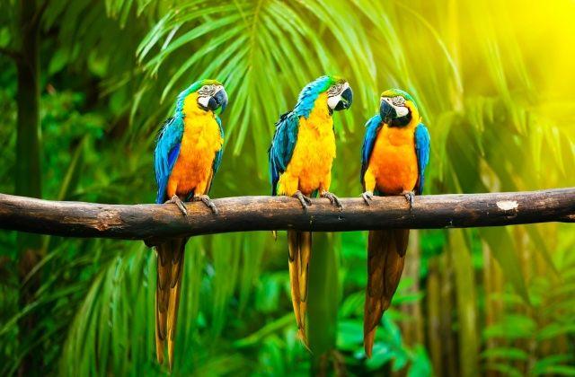 příroda, papoušci, ptáci, větvička, v tropech, pozadí, palmové, džungle, Ukrajinci, modrá, žlutá