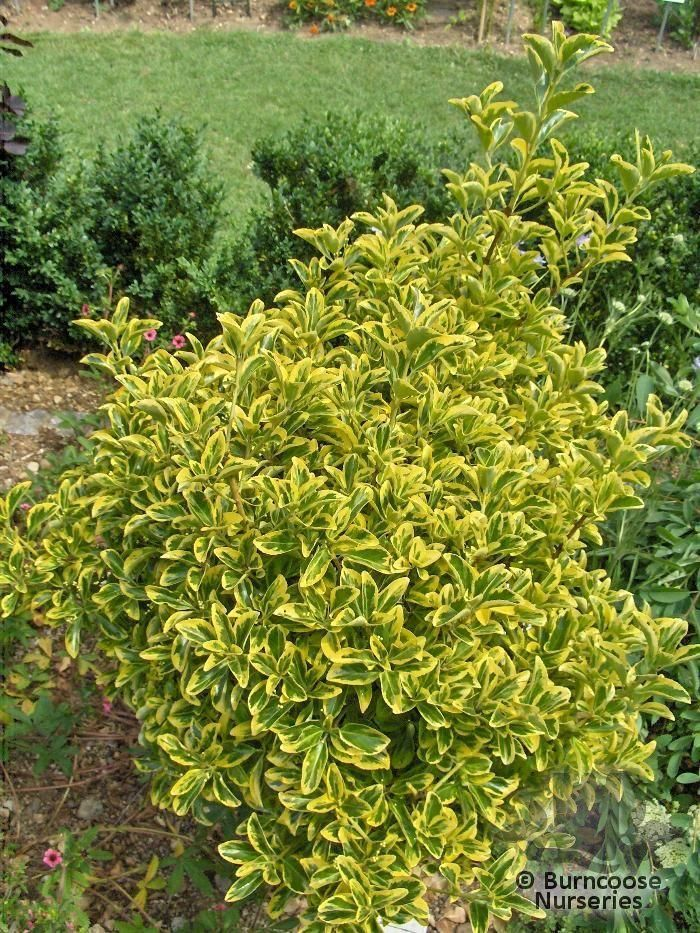 66 best EUONYMUS SHRUBS images on Pinterest Plants Gardens and