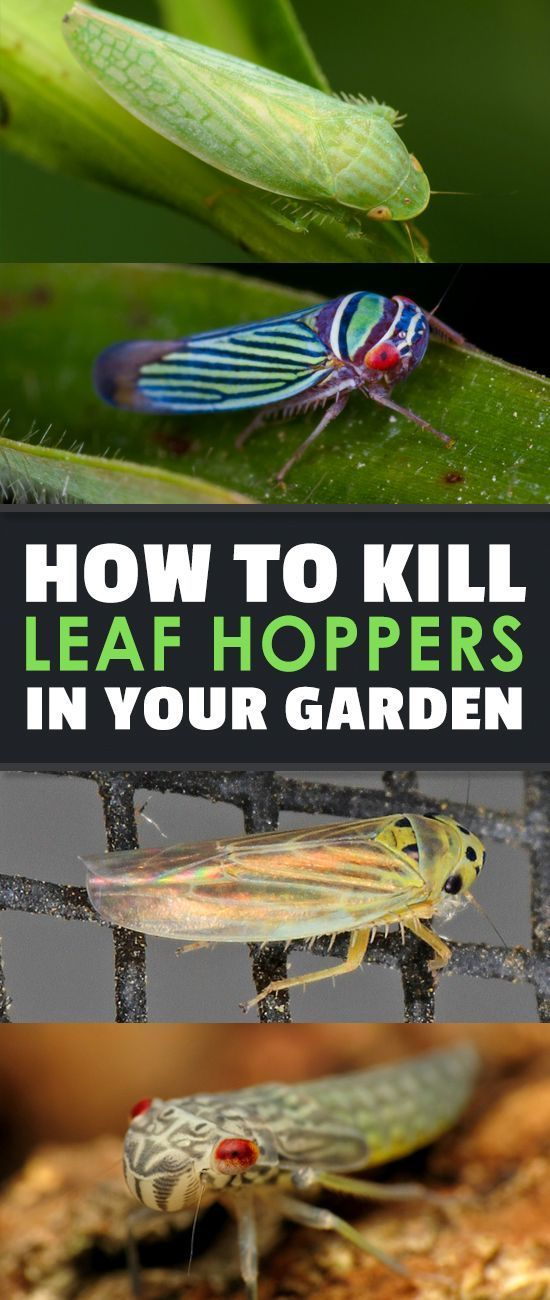 The leafhopper lurks within our gardens and green spaces. But you don't have to let them stay in your yard! Use our helpful guide to wipe them out.