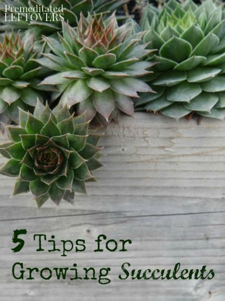 5 Tips for Growing Succulents - Succulents are wonderful plants to grow indoors or out. These gardening tips work with both indoor and outdoor succulents.