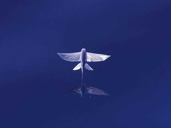 Not a bird...it's a #flying #fish with it's reflection mirrored below it. How cool is that??