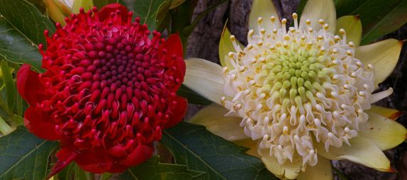 Waratah: Telopea speciosissima -- Red and White forms -- Australin Native Plants. The waratah (Telopea speciosissima) is arguably the most famous of Australia's native plants, being widely cultivated for the cut- flower market both in Australia and overseas. There are many other related plants also worthy of wide cultivation.