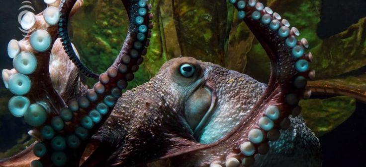 Les pieuvres sont intelligentes... mais ont-elles une conscience ?