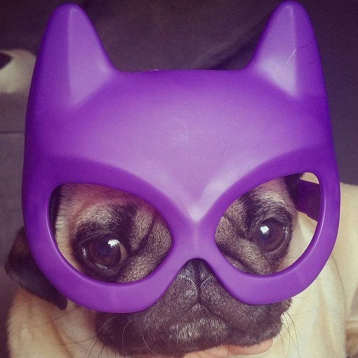 Batpug at work! Photo by @barry_the_puggy Want to be featured on our Instagram? Tag your photos with #thepugdiary for your chance to be featured.