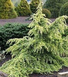 Dwarf weeping Deodar Cedar, white foliage