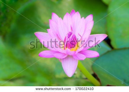 Water Lillies Stock Photos, Images, & Pictures   Shutterstock