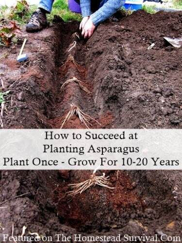 They may take two years before you can harvest them. But once established they'll come back every season for 10 or 20 years. From TheHomesteadSurvival.com, How to Succeed at Planting Asparagus | thisoldhouse.com