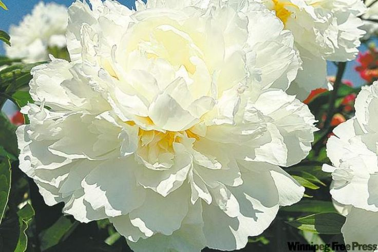 Image result for ivory peony
