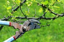Fruit trees are ideal for growing your own fresh and juicy apples, peaches, citrus fruits and more. Sometimes, however, even seasoned gardeners are hesitant to plant fruit trees because of the perceived level of maintenance. Pruning fruit trees can seem... #fruitgardening #fruittrees #gardening
