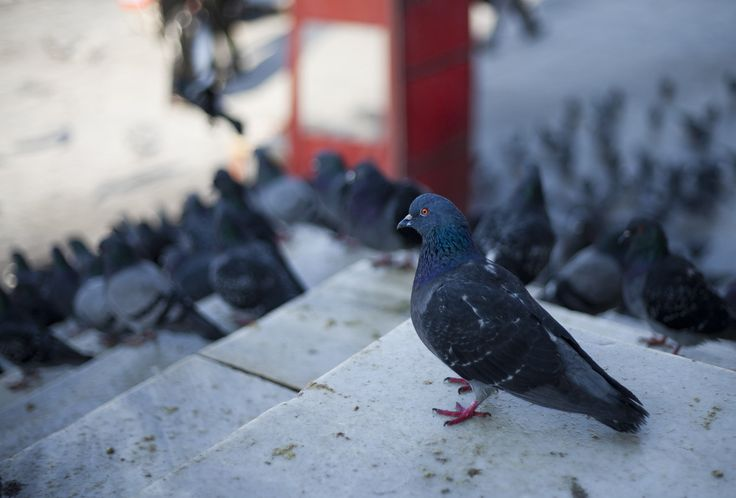 pigeon picture desktop nexus wallpaper - pigeon category