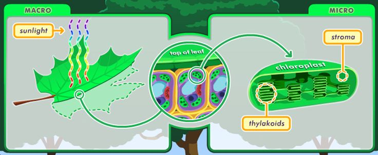 VLab: Photosynthesis - Investigate photosynthesis and the effects that environmental conditions have on photosynthetic efficiency. You'll interact with this virtual lab to collect data, make observations, analyze findings, and draw conclusions.