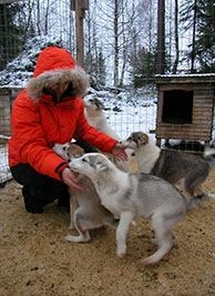 Puppy Challenge | Hetta Huskies - Dog Sledding Finland | Mushing Finland | Husky Safari Lapland Scandinavia