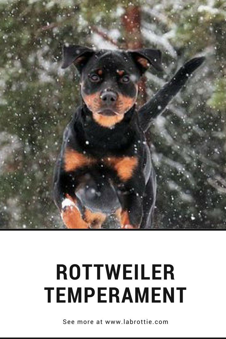 Temperament And Characteristics Rottweiler Rottweiler
