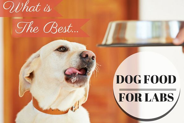 what is the best dog food for labs written beside a yellow lab looking at food bowl