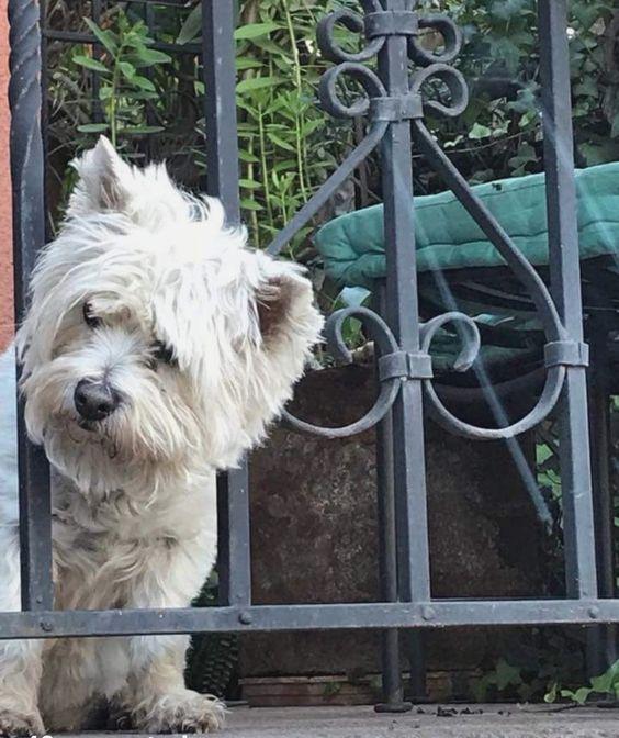 Westie Dogs, Westie Puppies, White