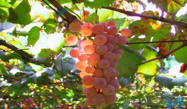 Осенняя обработка винограда от болезней или как получить здоровый урожай Растворы для обработки: медный и железный купорос