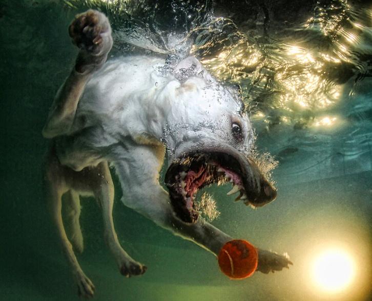 Подводные собаки / Великолепная серия фотографий, запечатлевшая игры собак под водой. Неподдельная экспрессия, настоящие эмоции, азарт и энергия - все это характерно для домашних животных, которые, существуя вместе с человеком несколько сот тысяч лет, так и не научились скрывать свои эмоции.