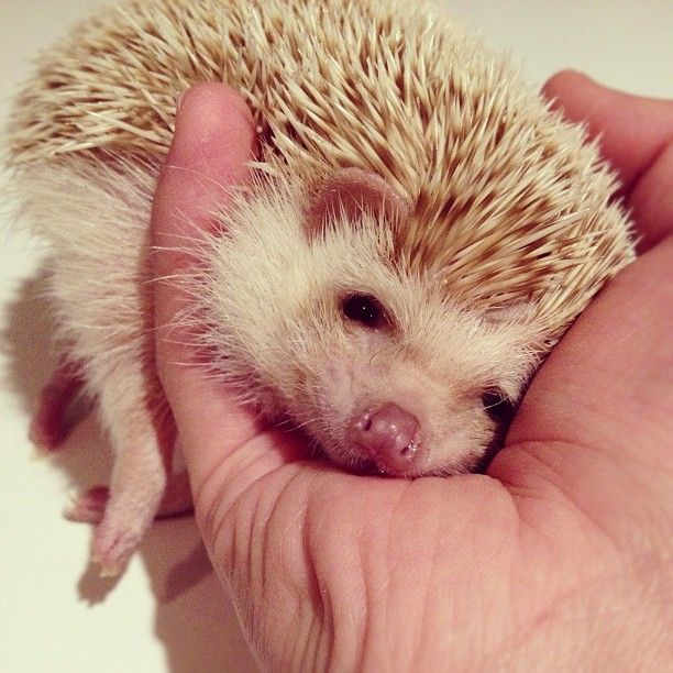 Best Hedgehogs Images On Pinterest Baby Animals Baby - Darcy cutest hedgehog ever