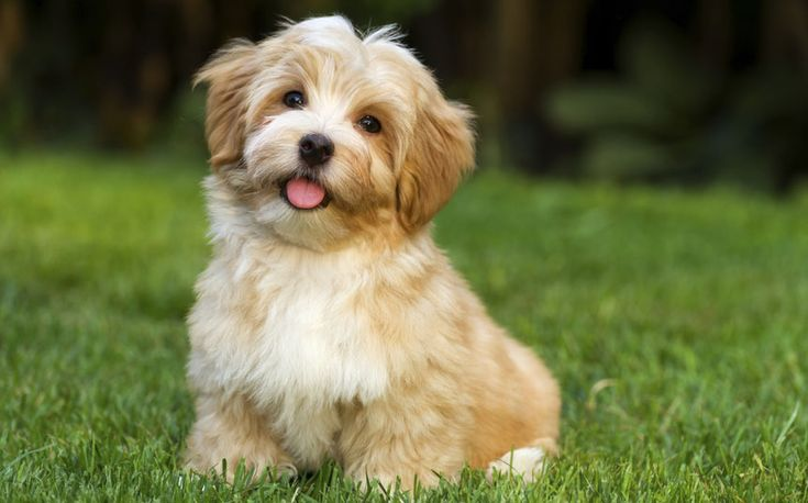 The Havanese is described as outgoing, funny, and intelligent.​ Their signature cheerful, springy gait equally matches their happy-go-lucky personality. Here are 10 things that every Havanese owner can relate to.