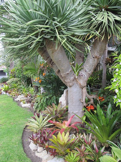Japie's Tropical Garden, Capetown, South Africa. - like the bromeliads as under planting's with the Clivias mixed in for extra colour