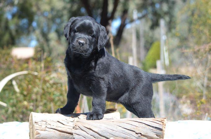 Spiritrock Labrador Retrievers Life Love Loyalty Labrador