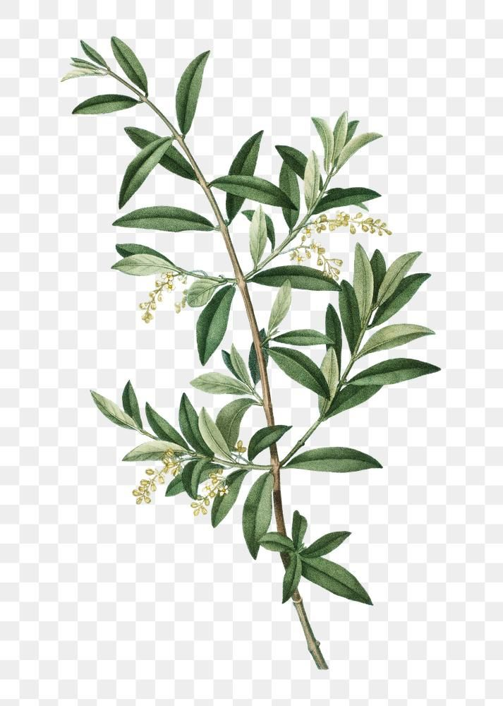 Green Olive Branch Plant Transparent Png Free Image By Rawpixel Com Olive Plant Bunch Of Flowers Drawing Plants
