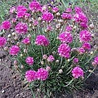 rosa Grasnelke