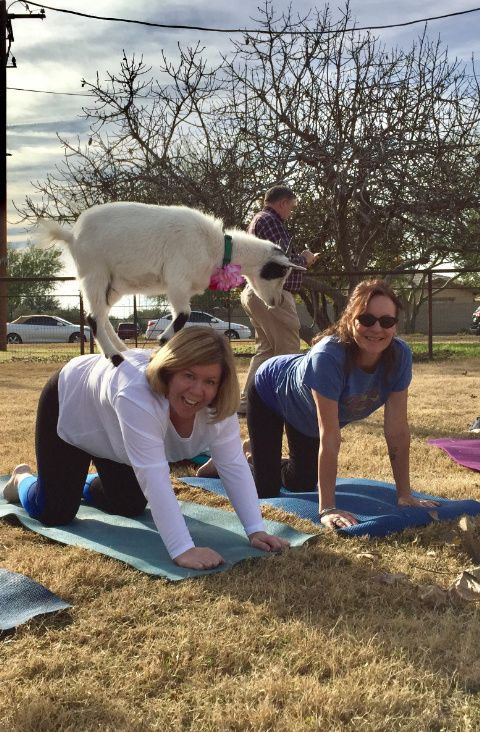 #goatvet likes this goat yoga lesson from the USA